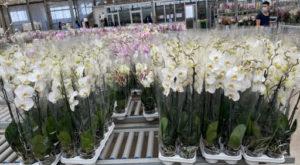 Le orchidee di Carceri